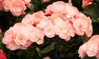 Sudár begónia (Begonia elatior)