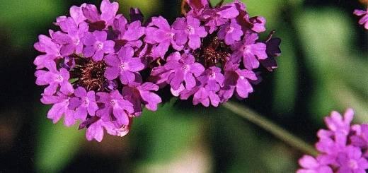 lila verbéna