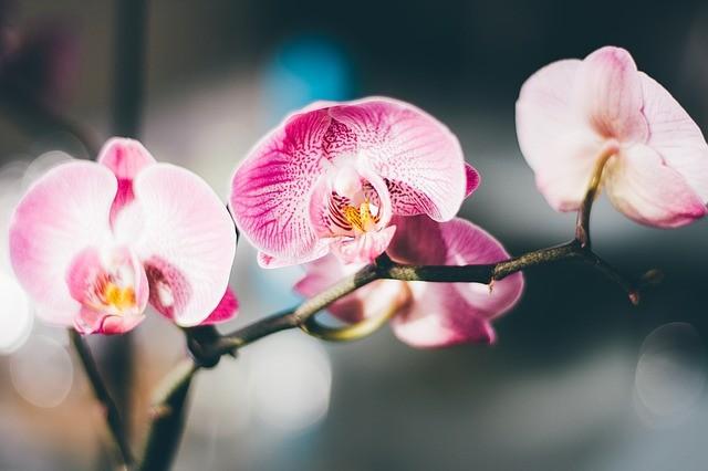 Friss hírek: Az orchidea bemutatása Az orchideák az Északi- és a Déli-sark, valamint a szélsőségesen száraz éghajlatú területek kivételével, mindenféle éghajlaton előfordulnak. Az orchideák kifejezetten népes növénycsaládnak számítanak 25000 fajukkal. A hatalmas... The post Az orchidea gondozása, átültetése, szaporítása, betegségei és kártevői appeared first on CityGreen.hu.