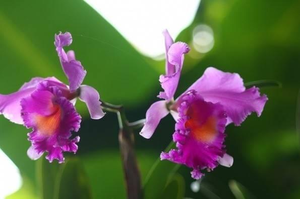 cattleya orchidea