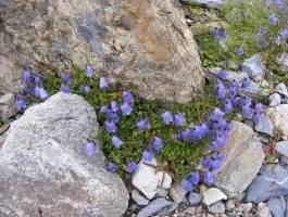 Campanula cochleariifolia