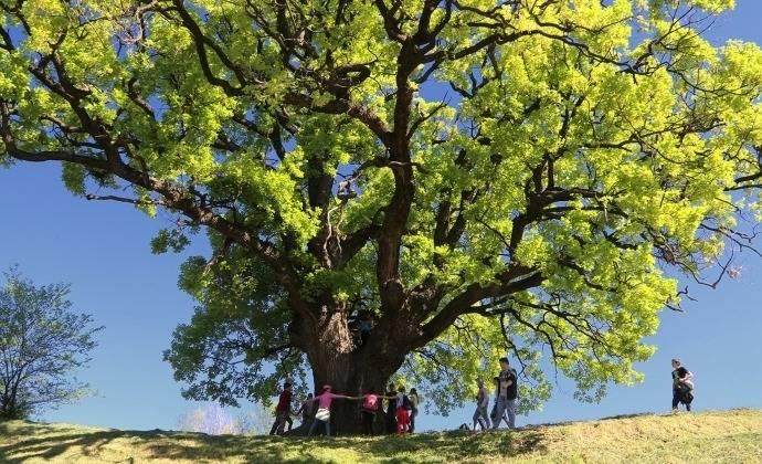 A-szebényi-nagy-fa