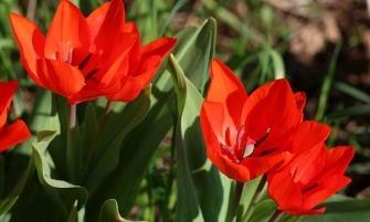 ágas tulipán