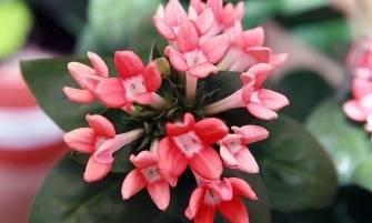 bouvard-virág
