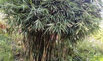 japán nyílbambusz