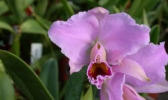 karácsonyi orchidea