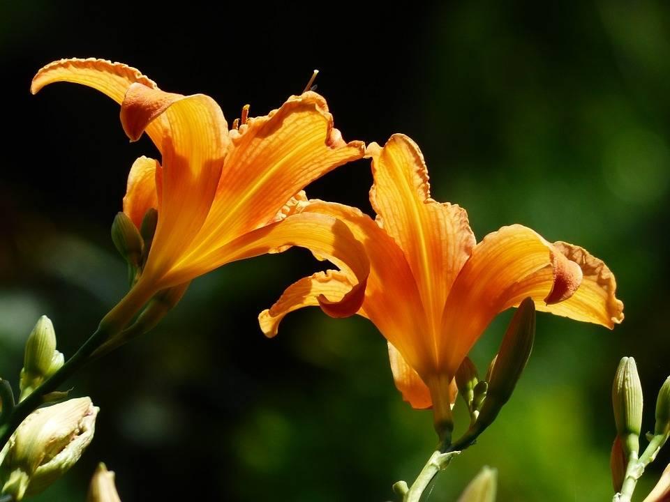 lángszínű sásliliom