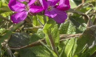 pillás ikravirág