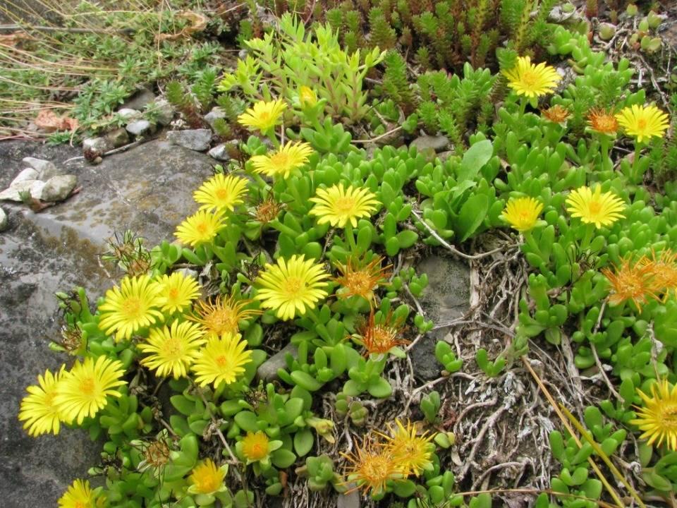 sárga délvirág