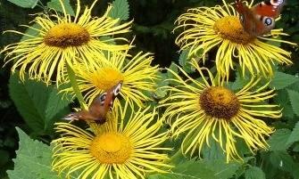 pompás teleki-virág